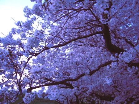 桜019.jpg